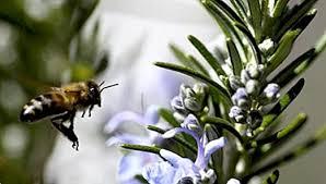 Rozmaring méz